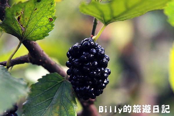月眉山桐花21.JPG
