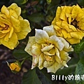 黃玫瑰花.jpg