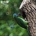 佳作-陳子欽-5色鳥育雛(NO.760)ok.jpg