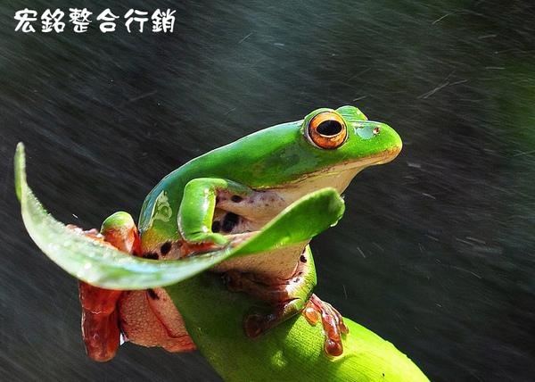 佳作-陳鼎鑫-雨蛙-佳作(NO.335)ok.jpg