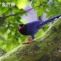 佳作-陳靜文-長尾山娘(NO.416)ok.JPG