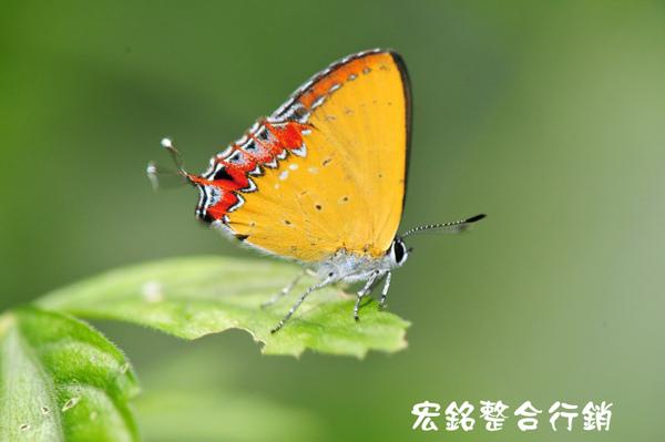 佳作-游輝任-蝴蝶(紅邊黃小灰蝶)(NO.42).JPG