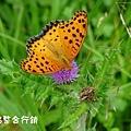 佳作-黃世傑-蝶戀花(NO.373)ok.jpg