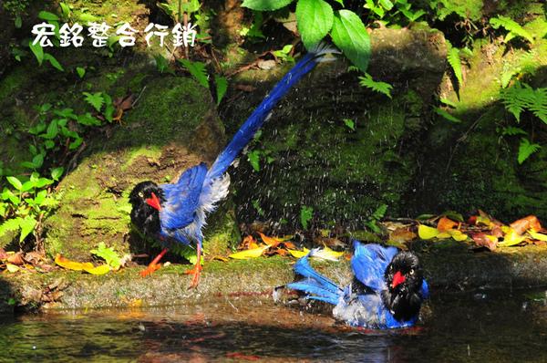 佳作-溫紹良-台灣藍鵲(NO.781).jpg