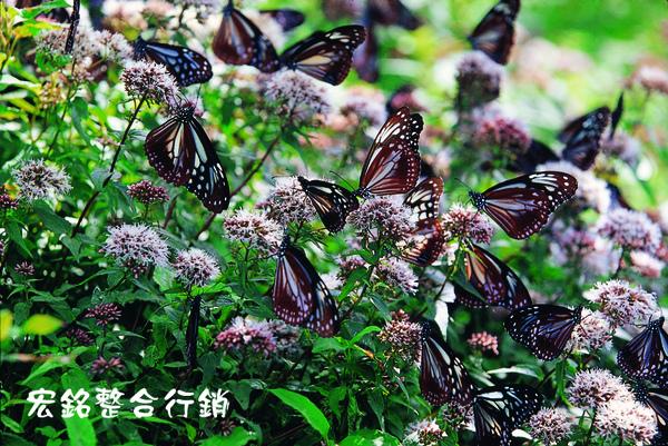佳作-蔡東欽-青斑蝶(NO.70).jpg