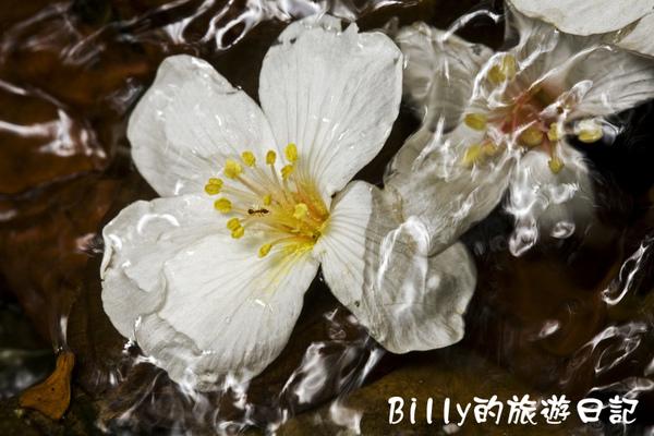 桐花29.jpg