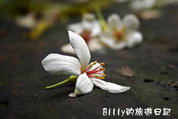 桐花31.jpg