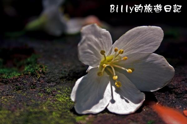 桐花32.jpg