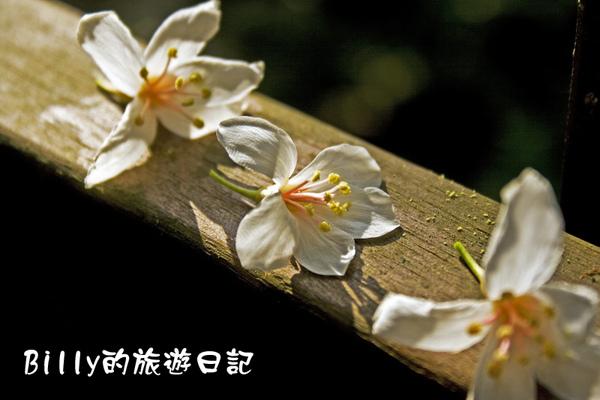 桐花40.jpg