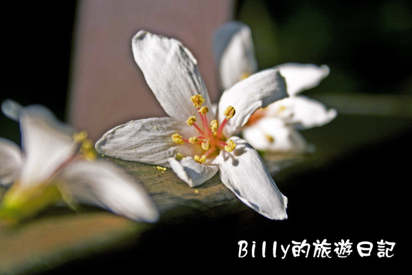 桐花42.jpg