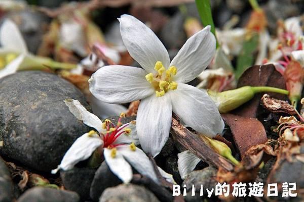 月眉山桐花11.JPG