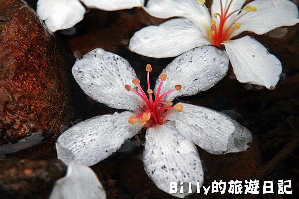 2011七堵桐花007.JPG