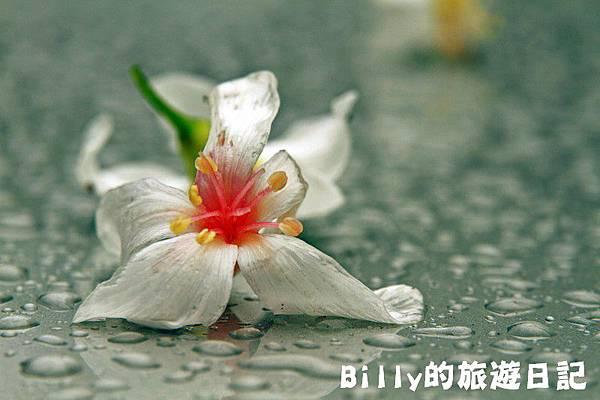 基隆暖暖桐花23.JPG