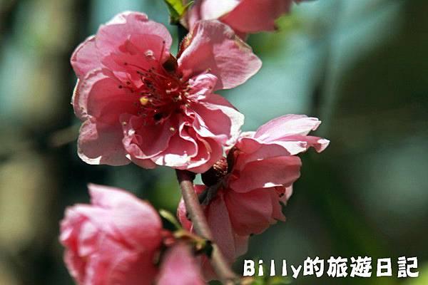 馬祖東莒-桃花23.JPG