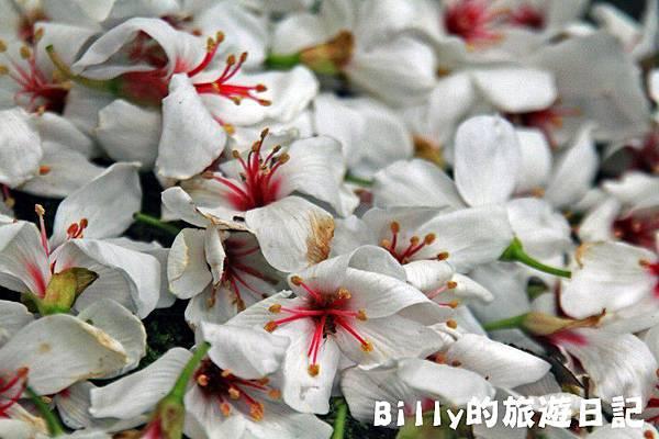 2011七堵桐花019.JPG