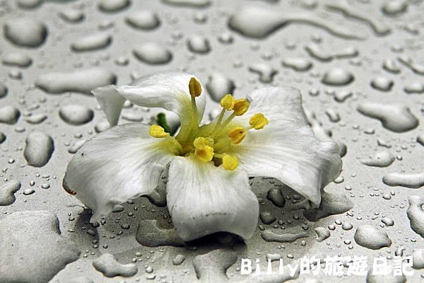 基隆暖暖桐花21.JPG