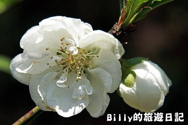 馬祖東莒-桃花17.JPG