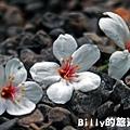 2011七堵桐花026.JPG