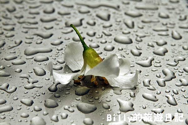 基隆暖暖桐花20.JPG
