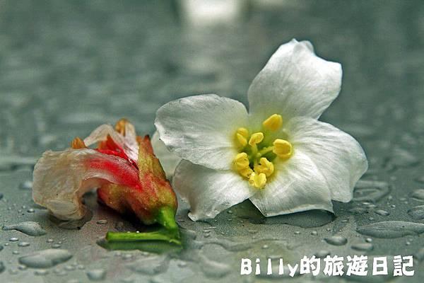 基隆暖暖桐花24.JPG