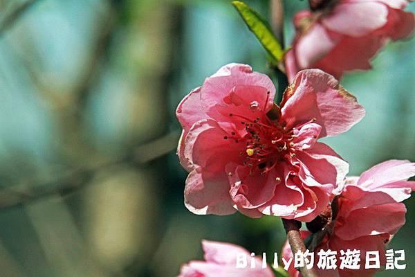 馬祖東莒-桃花22.JPG