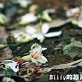 月眉山桐花24.JPG