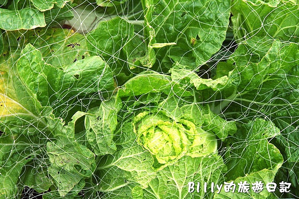 東莒的白菜02.jpg