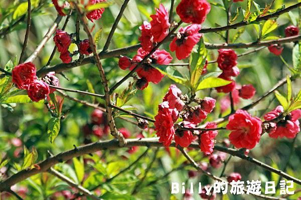 馬祖東莒-桃花32.JPG