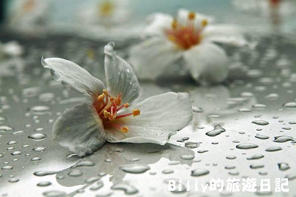 基隆暖暖桐花28.JPG