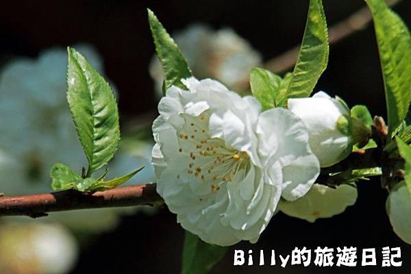 馬祖東莒-桃花18.JPG