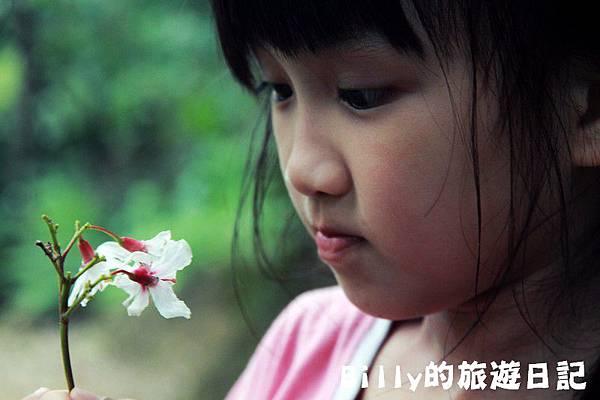 月眉山桐花12.JPG