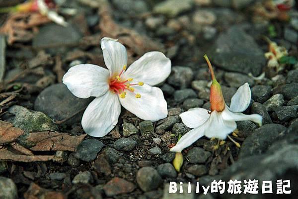 月眉山桐花29.JPG