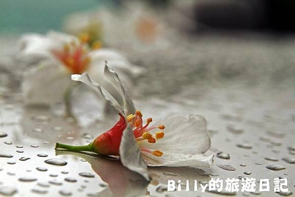 基隆暖暖桐花29.JPG