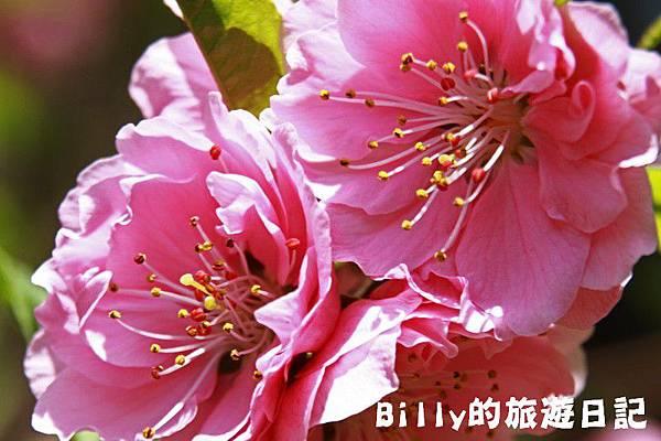 馬祖東莒-桃花15.JPG