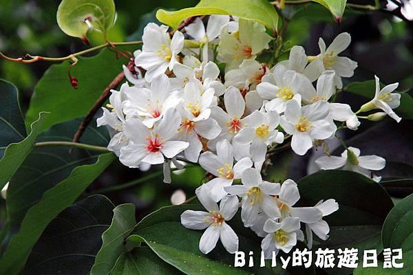 月眉山桐花18.JPG