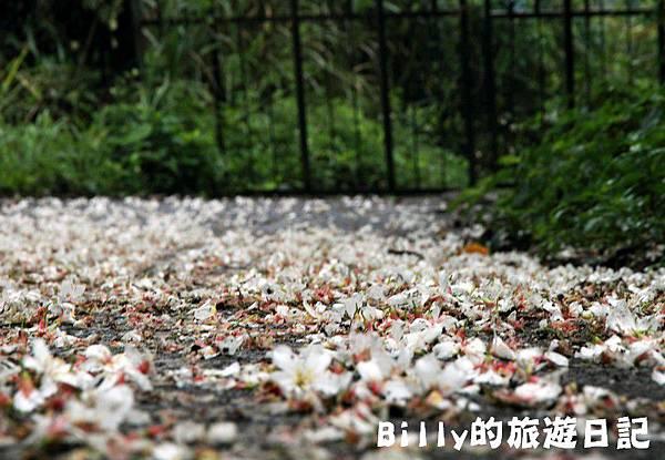 基隆暖暖桐花18.JPG