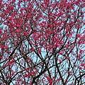 鐵道公園百年櫻花樹05.jpg