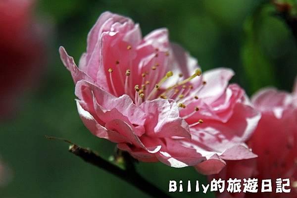 馬祖東莒-桃花24.JPG