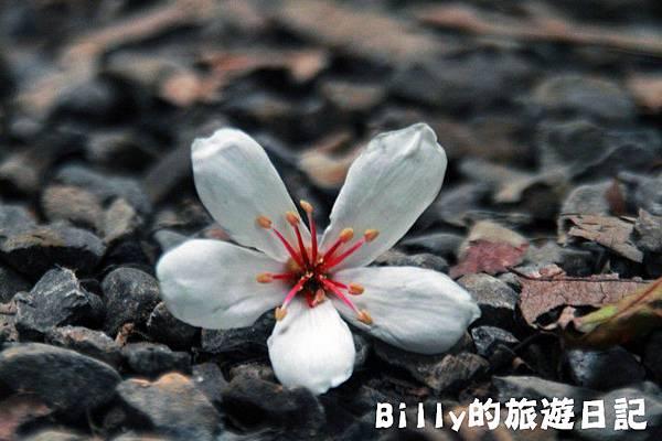 2011七堵桐花024.JPG