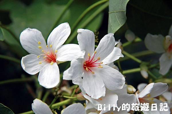 月眉山桐花14.JPG