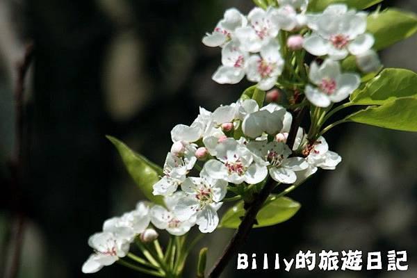 馬祖東莒-桃花05.JPG