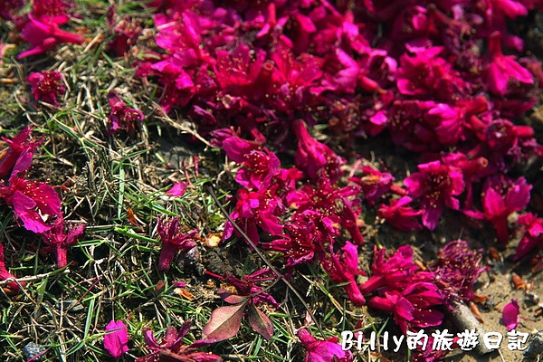 鐵道公園百年櫻花樹07.jpg