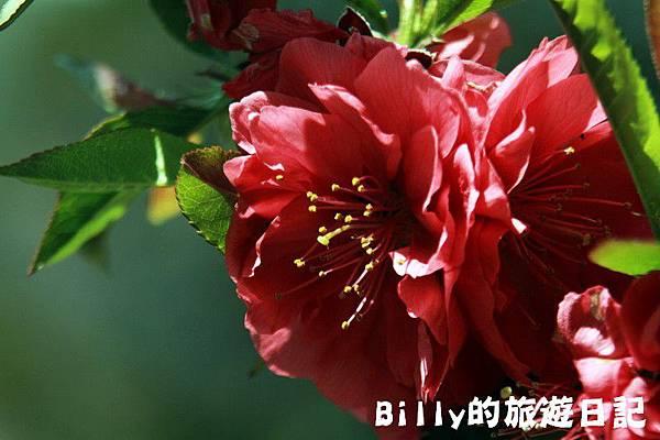 馬祖東莒-桃花13.JPG