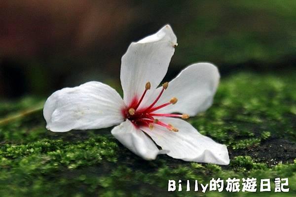 2011七堵桐花020.JPG