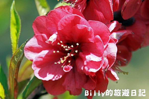 馬祖東莒-桃花16.JPG