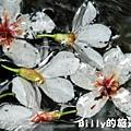 2011七堵桐花011.JPG