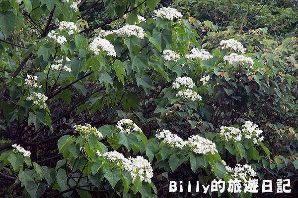 月眉山桐花28.JPG