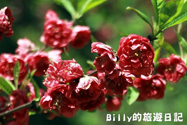馬祖東莒-桃花14.JPG