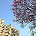 鐵道公園百年櫻花樹03.jpg