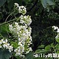 基隆暖暖桐花11.JPG